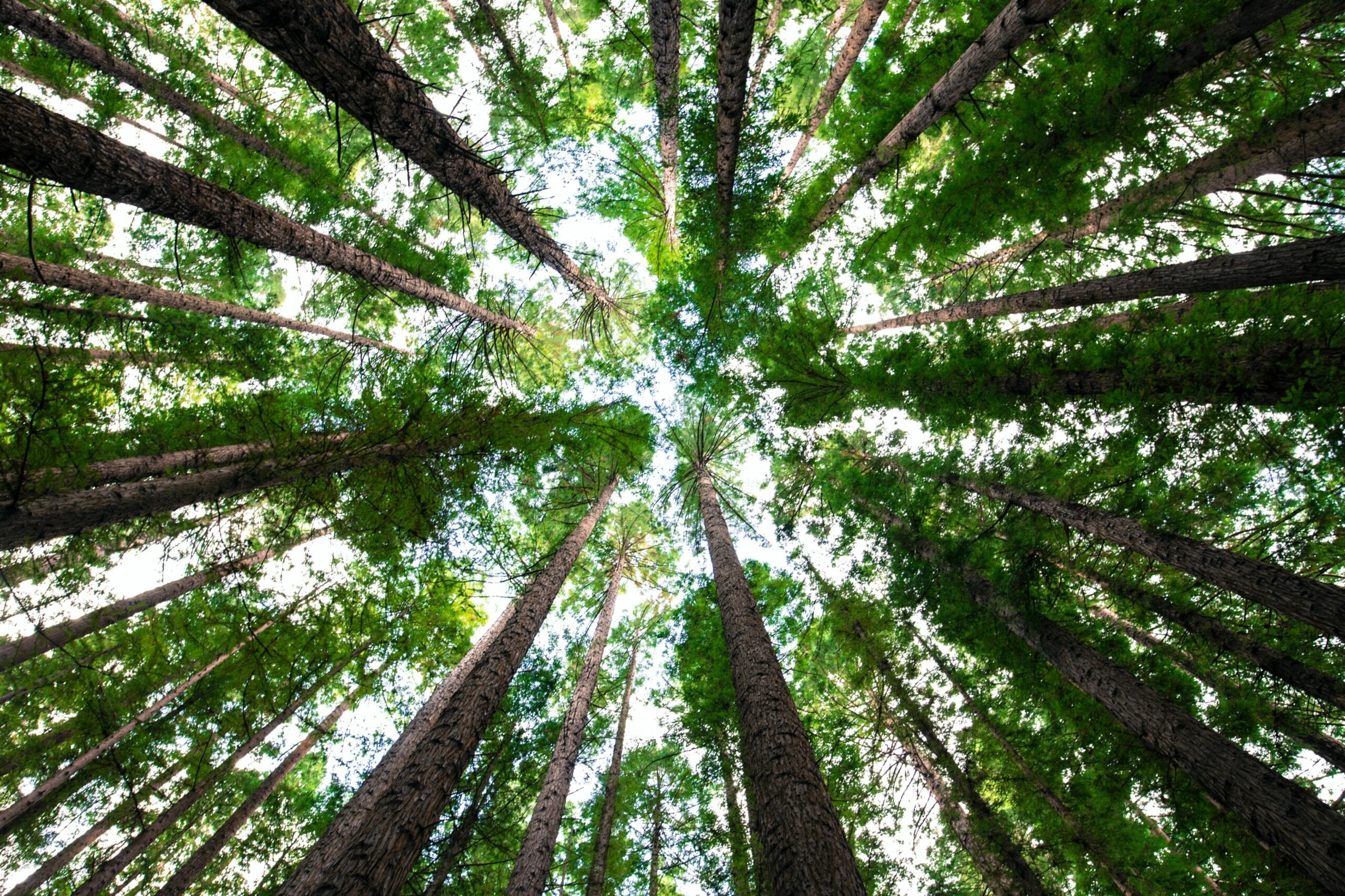 Looking up at trees in the forest