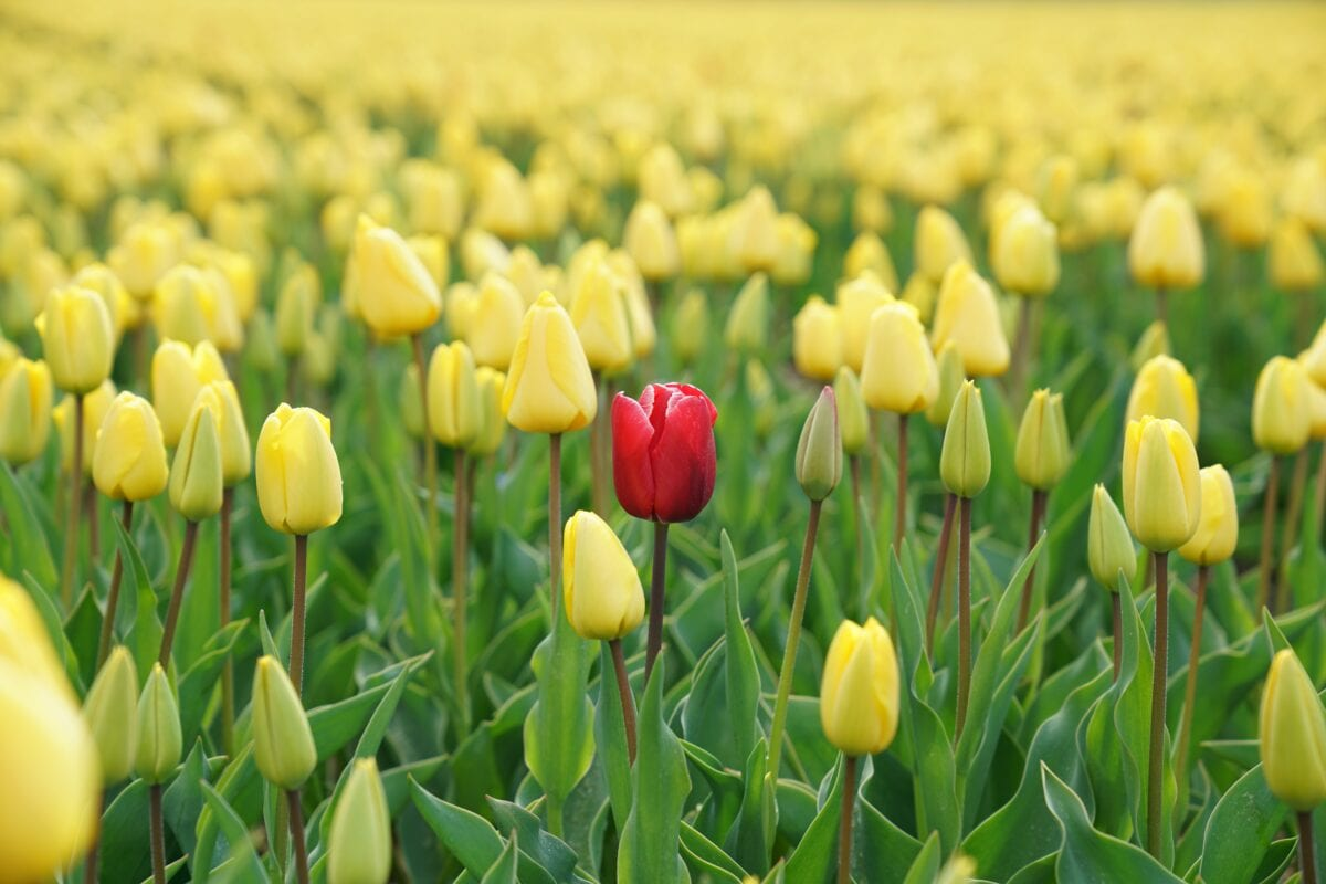 Yellow flowers in a field with one single red flower in the middle